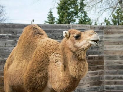 The Dromedary or Arabian camel is the national animal of Tunisia. Picture: Sedgwick County Zoo/Twitter